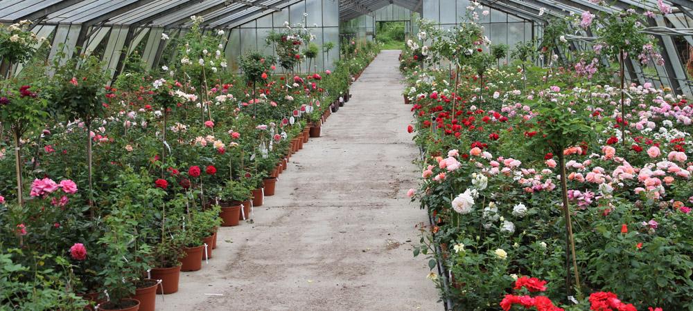 container rosen online kaufen im rosenhof schultheis. Black Bedroom Furniture Sets. Home Design Ideas