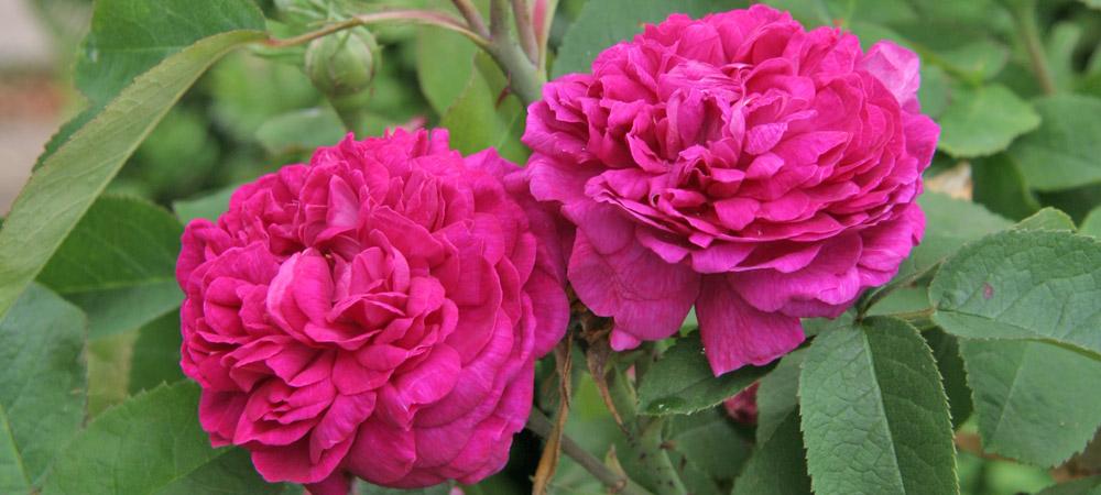 rosa damascena historische rosen rosen rosen online kaufen im rosenhof schultheis. Black Bedroom Furniture Sets. Home Design Ideas
