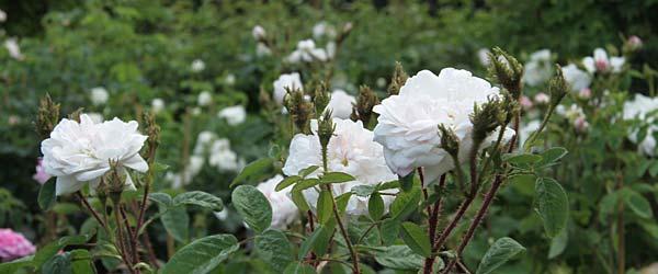 historische rosen container rosen online kaufen im. Black Bedroom Furniture Sets. Home Design Ideas