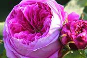 rosen rosen online kaufen im rosenhof schultheis. Black Bedroom Furniture Sets. Home Design Ideas