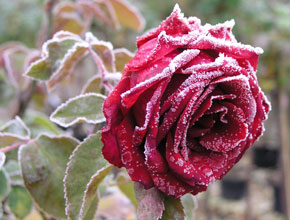 letzte rose rosen ratgeber informatives rosen online kaufen im rosenhof schultheis. Black Bedroom Furniture Sets. Home Design Ideas