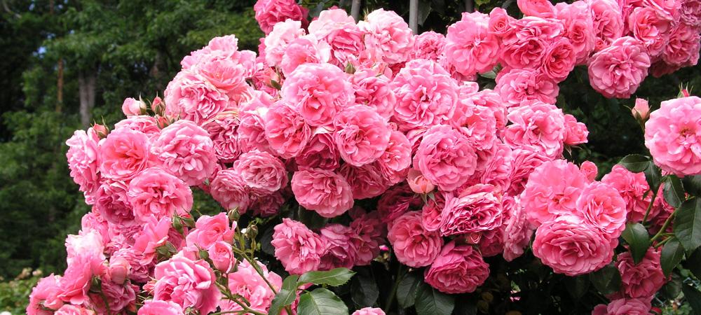 moderne kletterrosen kletterrosen rosen rosen online. Black Bedroom Furniture Sets. Home Design Ideas