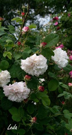 rosa damascena historische rosen rosen rosen von. Black Bedroom Furniture Sets. Home Design Ideas