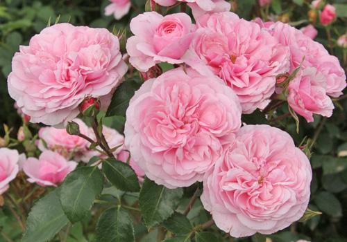 rosen schultheis rosen schultheis pin steine b ume str ucher wir gestalten rosenhof schultheis. Black Bedroom Furniture Sets. Home Design Ideas