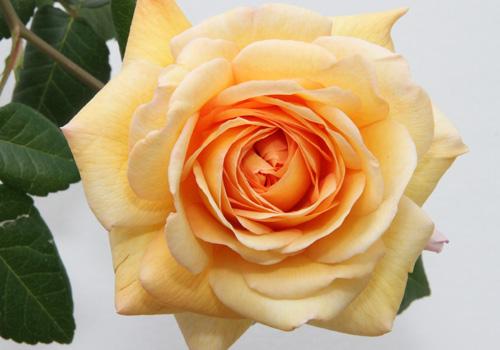 moderne rosen rosen rosen online kaufen im rosenhof. Black Bedroom Furniture Sets. Home Design Ideas