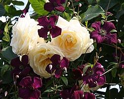 grossblumige hybriden clematis pflanzen rosen von. Black Bedroom Furniture Sets. Home Design Ideas