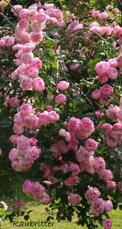 strauchrosen historische rosen rosen rosen online kaufen im rosenhof schultheis. Black Bedroom Furniture Sets. Home Design Ideas