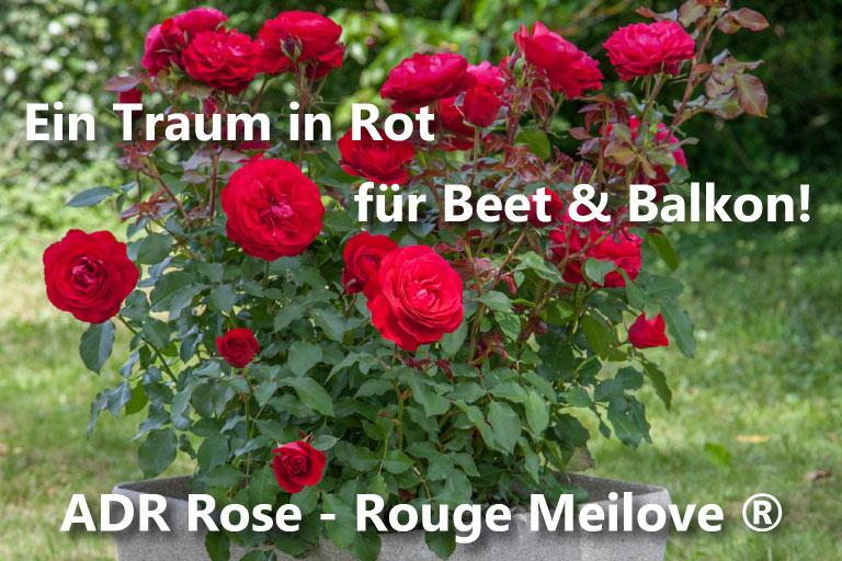Klettergerüst Rosen : Rosenhof schultheis u älteste deutsche rosenschule